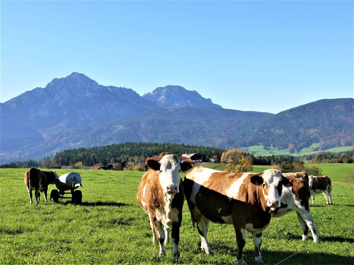 Kühe-vor-dem-Staufen