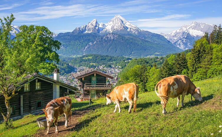 Kuh Watzmann Berg